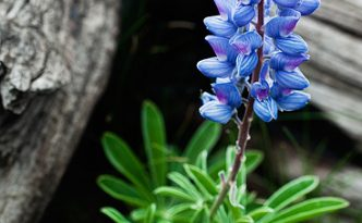 A lupine grows in an alpine area near the summit of Mt. Washburn in Yellowstone National Park.