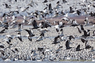 A group of snow geese take to the sky at Squaw Creek National Wildlife Refuge in Missouri. There were over 1 million birds on the lake on this day.