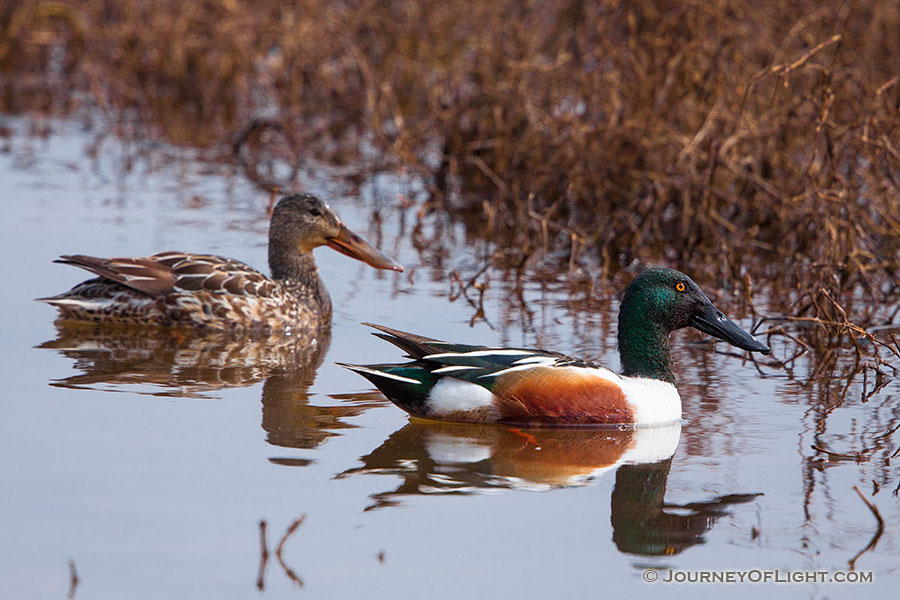A male and female pair of Northern Shovelers look for food at Squaw Creek National Wildlife Refuge.