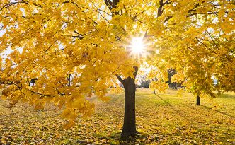 The sun shines through the branches of a maple whose leaves recently turned bright yellow at Branched Oak Lake State Recreation Area in Lancaster County, Nebraska.