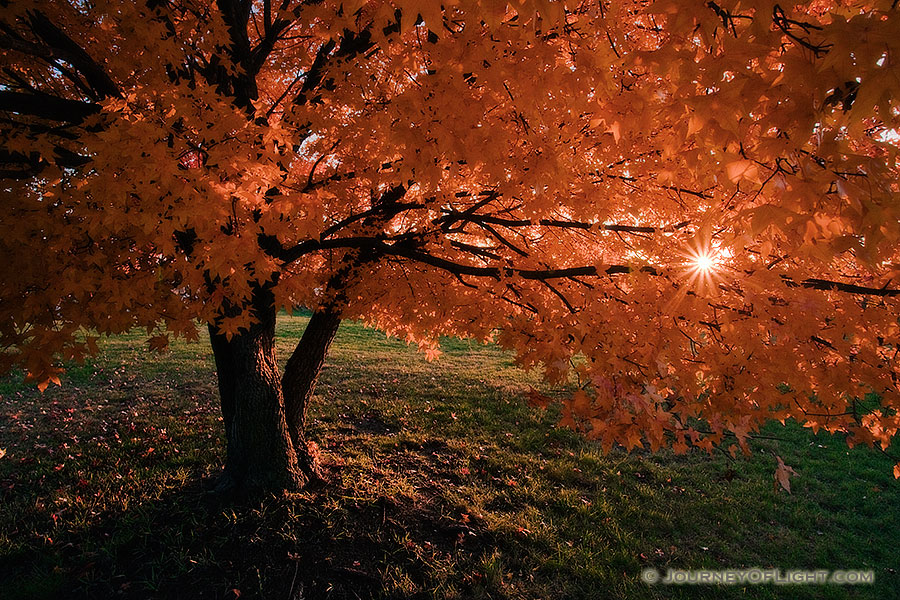 A maple tree bursts forth into glorious autumn colors while the setting sun shines through the leaves.