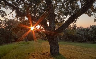 On a warm summer evening, the setting sun shines through a large Burr Oak at Eugene T. Mahoney State Park.