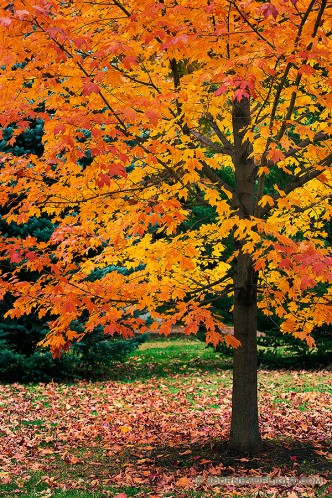 An maple tree turns fiery red and orange in the Autumn at Arbor Day Lodge State Park in Nebraska City, Nebraska.