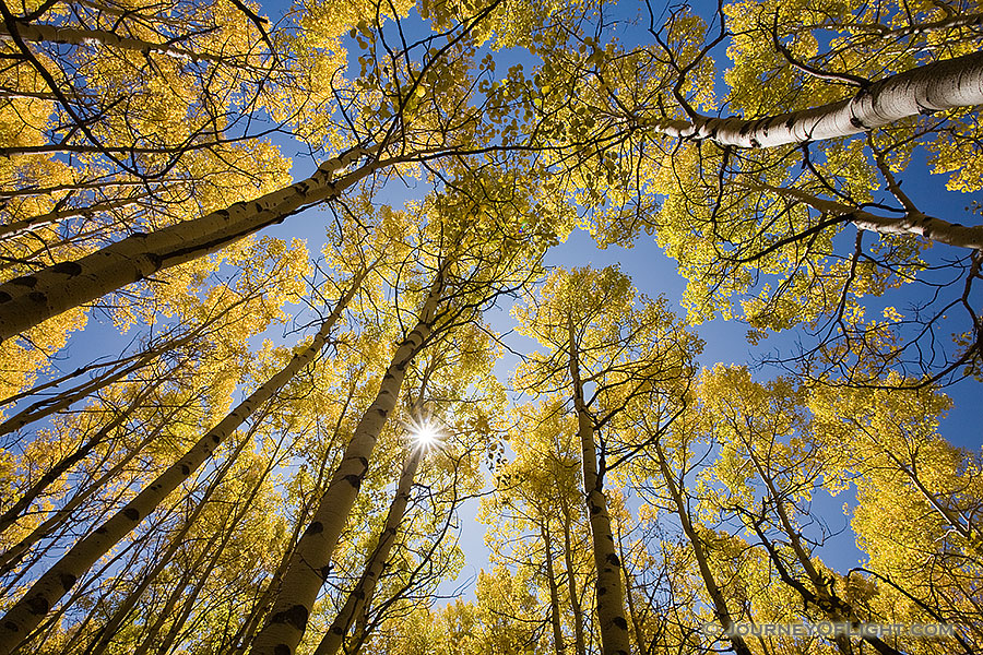With only an occasional rustle, sunlight streams down on the forest landscape causing the aspen trees to glow with a golden brillance during the autumn in Colorado.