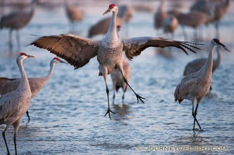 A graceful Sandhill Crane dances to impress potential mates, to establish territorial claims or to confirm potentially decades long bonding. Sandhill Cranes mate for life and the dancing is all part of the ritual.