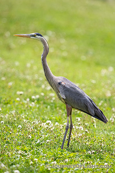 A blue heron stands silently at Schramm State Recreation Area in eastern Nebraska.