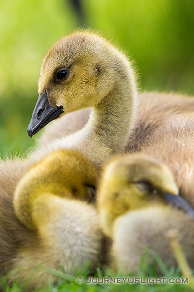 Two goslings huddle together as a third keeps watch at Schramm State Recreation Area in eastern Nebraska.
