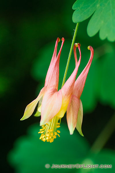 A singular Columbine grows in the shade of a tree at Schramm State Recreation Area.