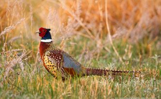 A ring-necked pheasant struts during the late spring at Crescent Lake National Wildlife Refuge.