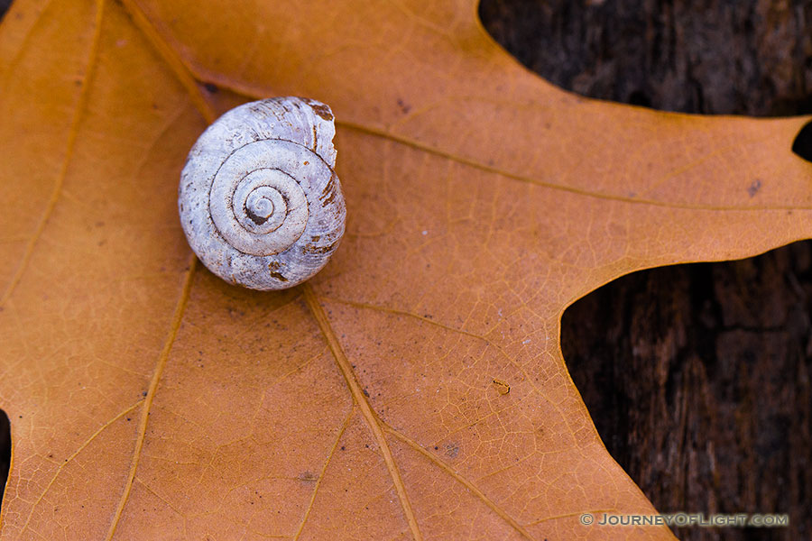 A snail shell rests on a leaf at the bottom of the forest at Fontenelle Forest in eastern Nebraska.