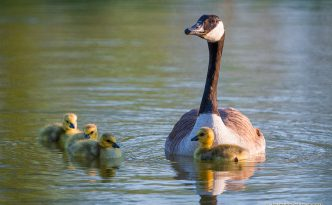 A gaggle of newly hatched gosling swim with their mother in one of the ponds at Schramm Park State Recreation Area.