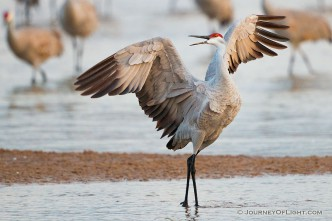 A Sandhill Crane struts on a sandbar on the Platte River in Nebraska.