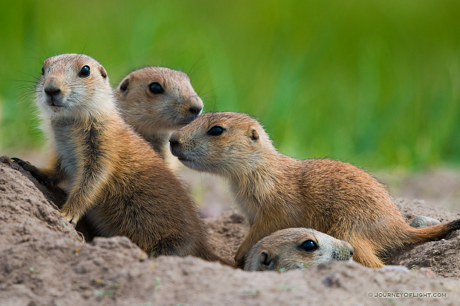 Prairie dog pups venture out of their hole at Ft. Niobrara National Wildlife Refuge.