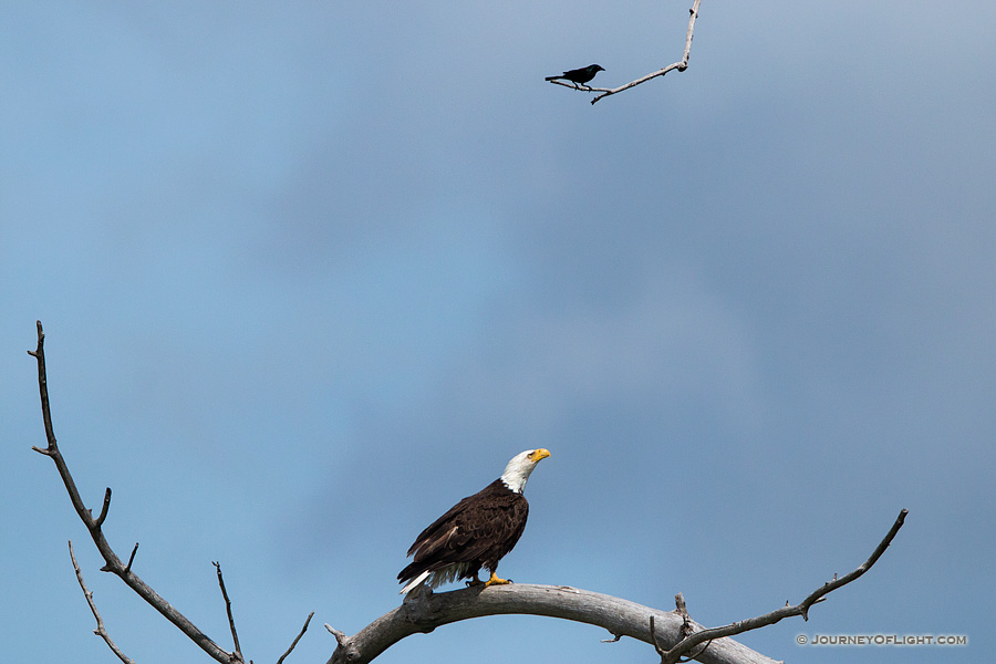 A crow taunts a Bald Eagle in high tree near his nest. Amazingly, the eagle ignored this visitor as he swooped by his head several times. Eventually, the crow tired and simply sat on this branch every so often chirping his indignation.