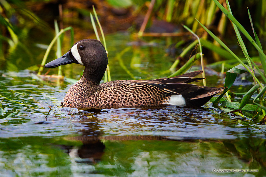 A Blue Winged Teal swims in a marsh created in a valley between large formation of sandhills in Cherry County, Nebraska.