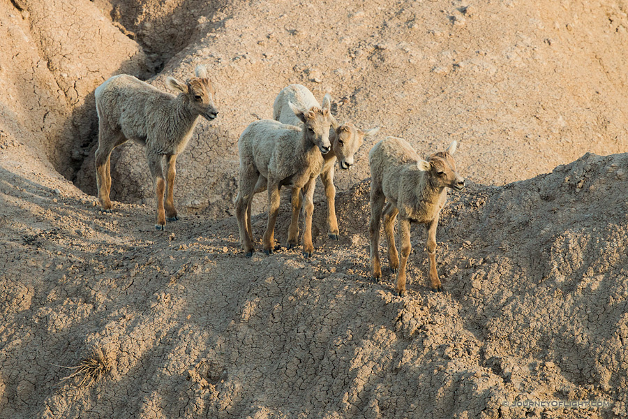 Four Bighorn Sheep kids navigate through the rocks in Badlands National Park, South Dakota.