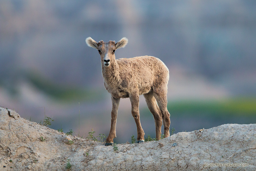 A young bighorn sheep pauses on the top of a ledge in Badlands National Park, South Dakota.