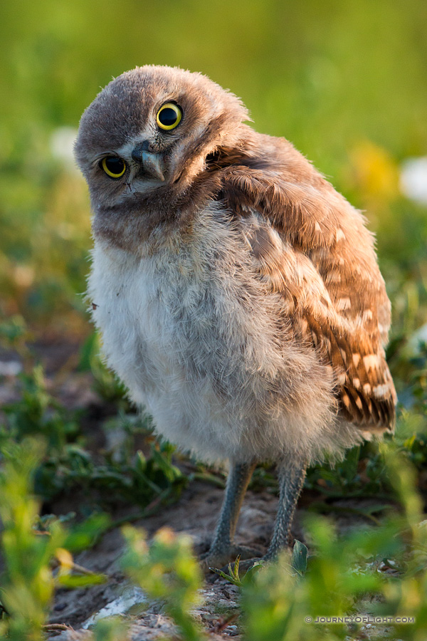 A young owlet tilts his head in curiosity in Badlands National Park, South Dakota.