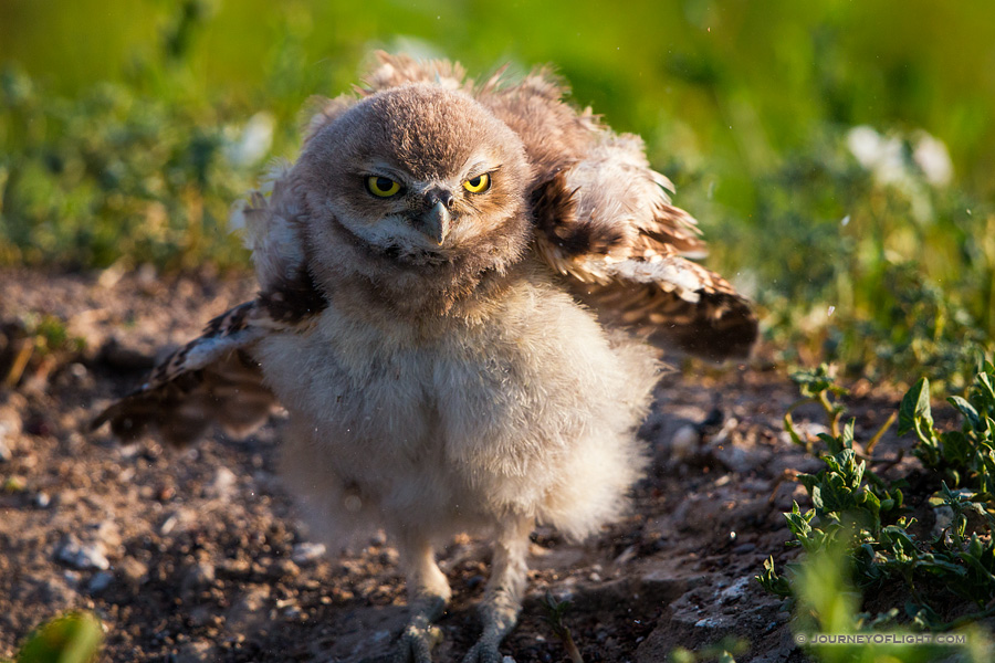 An owlet shakes his feathers just after sunrise in Badlands National Park, South Dakota.