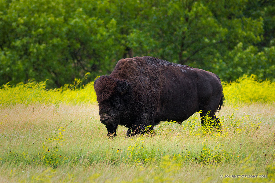 A buffalo (bison) moves slowly through a field in the North Unit of Theodore Roosevelt National Park.