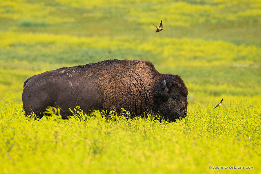A buffalo (bison) trudges through a field of bright yellow wildflowers while birds swoop close in the North Unit of Theodore Roosevelt National Park.