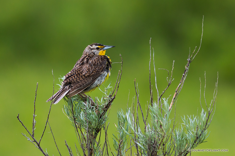 A Western Meadowlark, waits quietly on a branch at Theodore Roosevelt National Park in North Dakota.