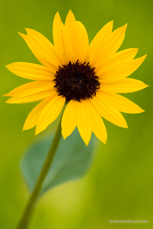 A sunflower grows at the bottom of the canyon in the Painted Canyon in Theodore Roosevelt National Park.