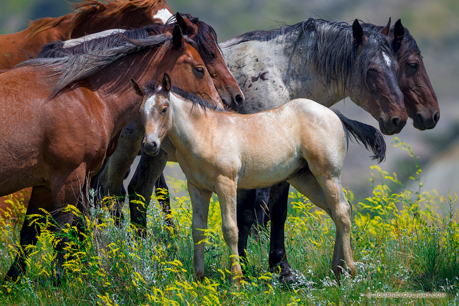 A young colt with a group of other wild horses at Theodore Roosevelt National Park in North Dakota.