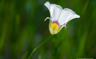 A Mariposa Lily grows in the open sun on the side of a ravine in Theodore Roosevelt National Park.