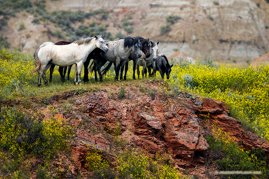 Theodore Roosevelt National Park is one of the few areas in the west where free-roaming horses may be observed. The park maintains a herd of anywhere from 70 to over 100 wild horses so that visitors may experience the area as it was during the open range era of Theodore Roosevelt. Here, the wild horses stop at a cliff overlooking a small stream at Theodore Roosevelt National Park in North Dakota.