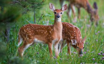 Young fawns quietly graze on green grass near the border of a forest in Custer State Park, South Dakota.