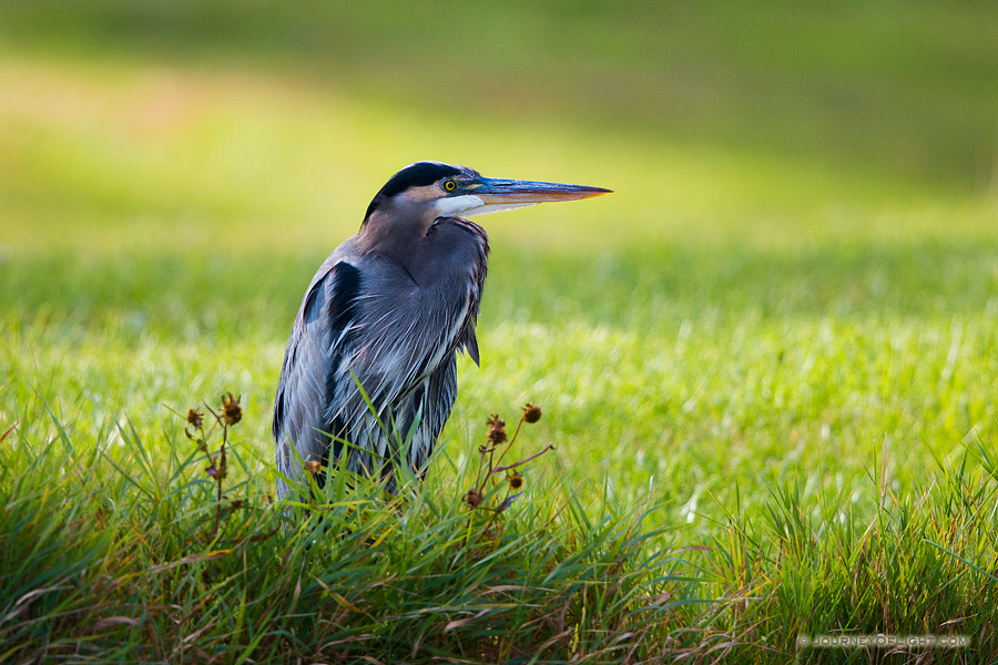A Great Blue Heron At Schramm State Recreation Area in Nebraska