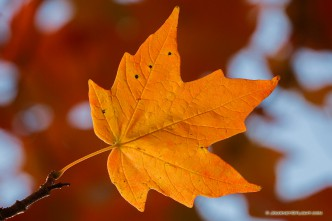 A single red maple leaf glows in the sunlight at Arbor Day Lodge State Park in Nebraska City, Nebraska.
