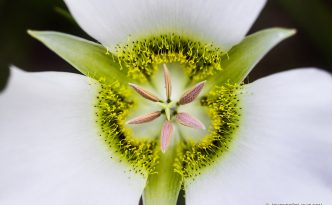 A Delicate Mariposa Lily