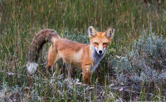 A fox pauses briefly in a field near Grand Lake, Colorado.