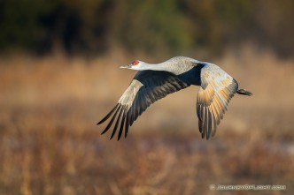 A Sandhill Crane glides through the sky above the Platte River in Central Nebraska in the warm morning light.