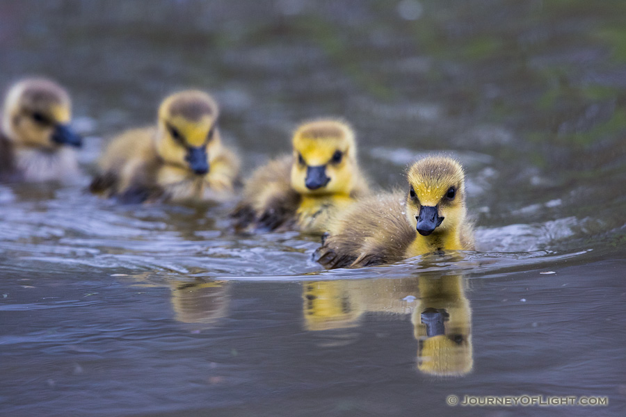 A gaggle of goslings swim in a line in one of the ponds at Schramm Park State Recreation Area.