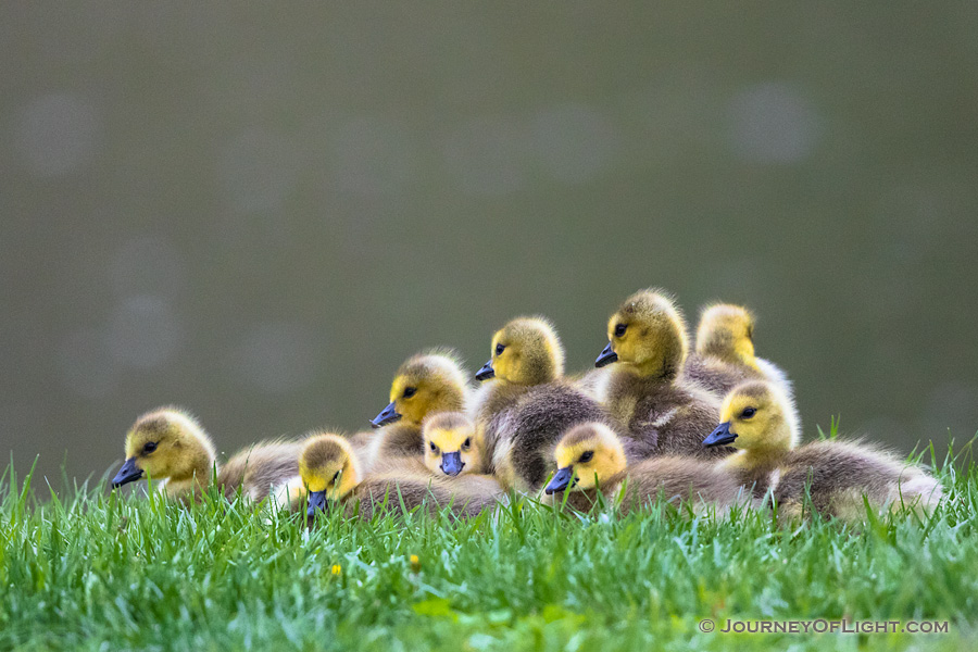A group of goslings pile on top of one another at Schramm Park State Recreation Area.