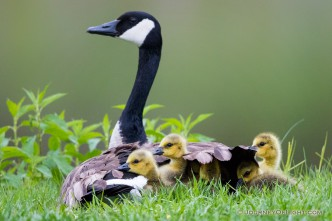 A mother Canada Goose protects her goslings under her wings at Schramm in Eastern Nebraska.