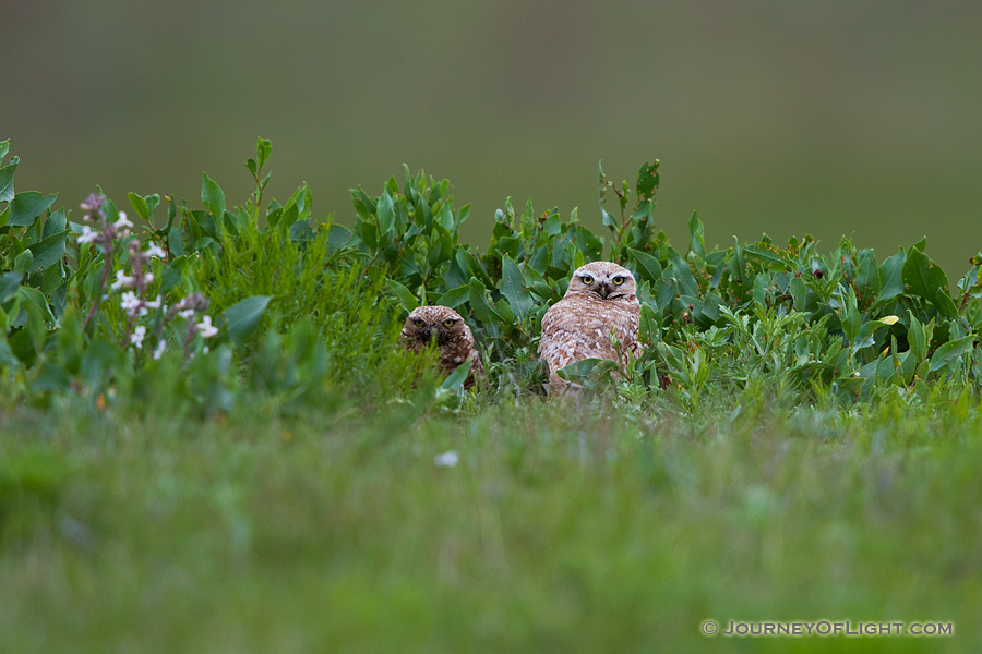 A pair of adult burrowing owls watches from their burrow at Crescent Lake Wildlife Management Area in the Sandhills of Nebraska.