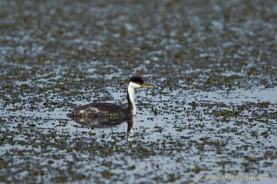 A Western Grebe floats on the lake at Smith Lake Wildlife Management Area in the Sandhills of Nebraska.