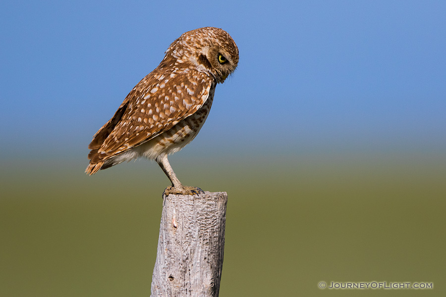 A burrowing owl scans the ground for potential prey on the Oglala Grasslands in western Nebraska.