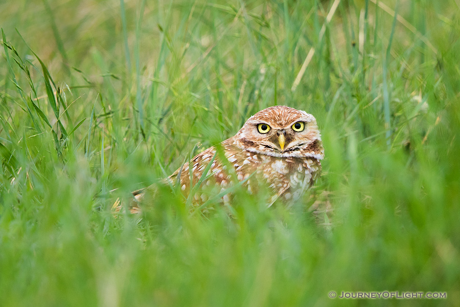 An adult burrowing owl watches from his burrow on the Oglala Grasslands in western Nebraska.