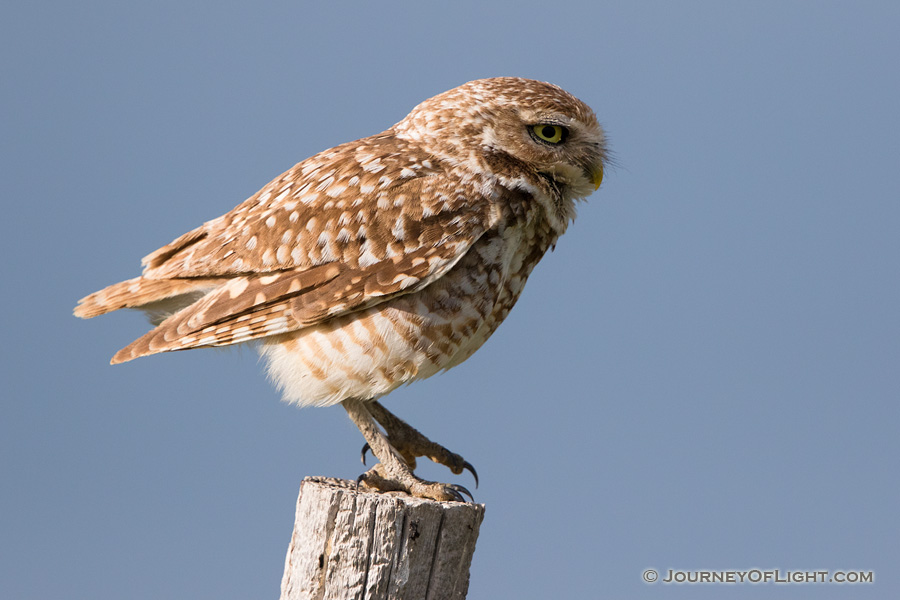 A burrowing owl prepares to take flight on a cool spring evening in the pandhandle of western Nebraska.