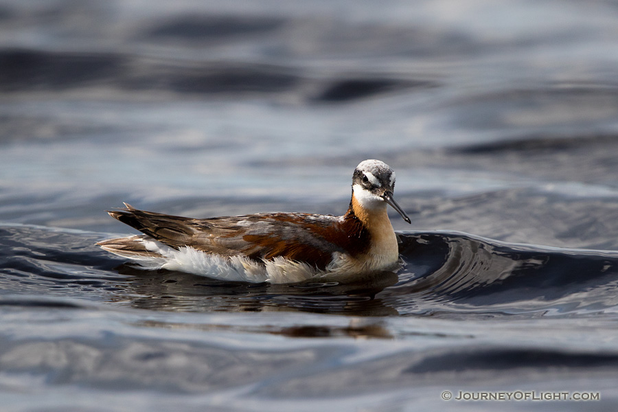 A Wilson's Phalarope floats on one of the many small lakes nestled in the valleys of the Sandhills of Nebraska.