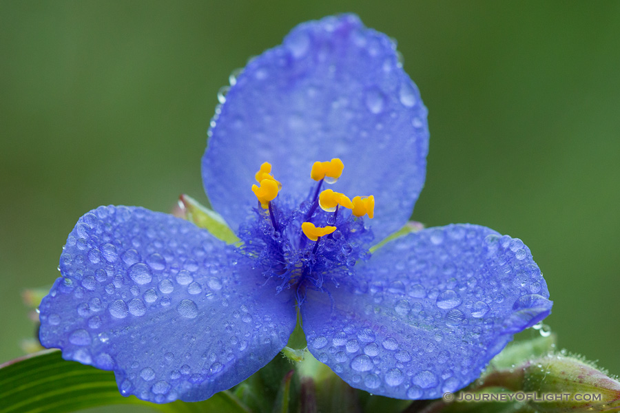 Drops of rain cling to a spiderwort at Ash Hollow State Historical Park in western Nebraska. Spiderworts bloom only opens for one day.