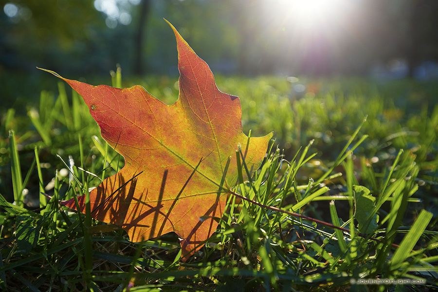 At Arbor Lodge State Park in Nebraska City, a fallen fiery red and orange autumn maple leaf rests in the grass as the last of the evening sun skims across the park causing it to glow one last time.
