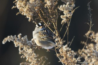 A White Crowned Sparrow pauses on a Goldenrod withered in the winter at Boyer Chute National Wildlife Refuge in eastern Nebraska.