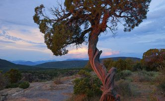 Black Canyon Pine