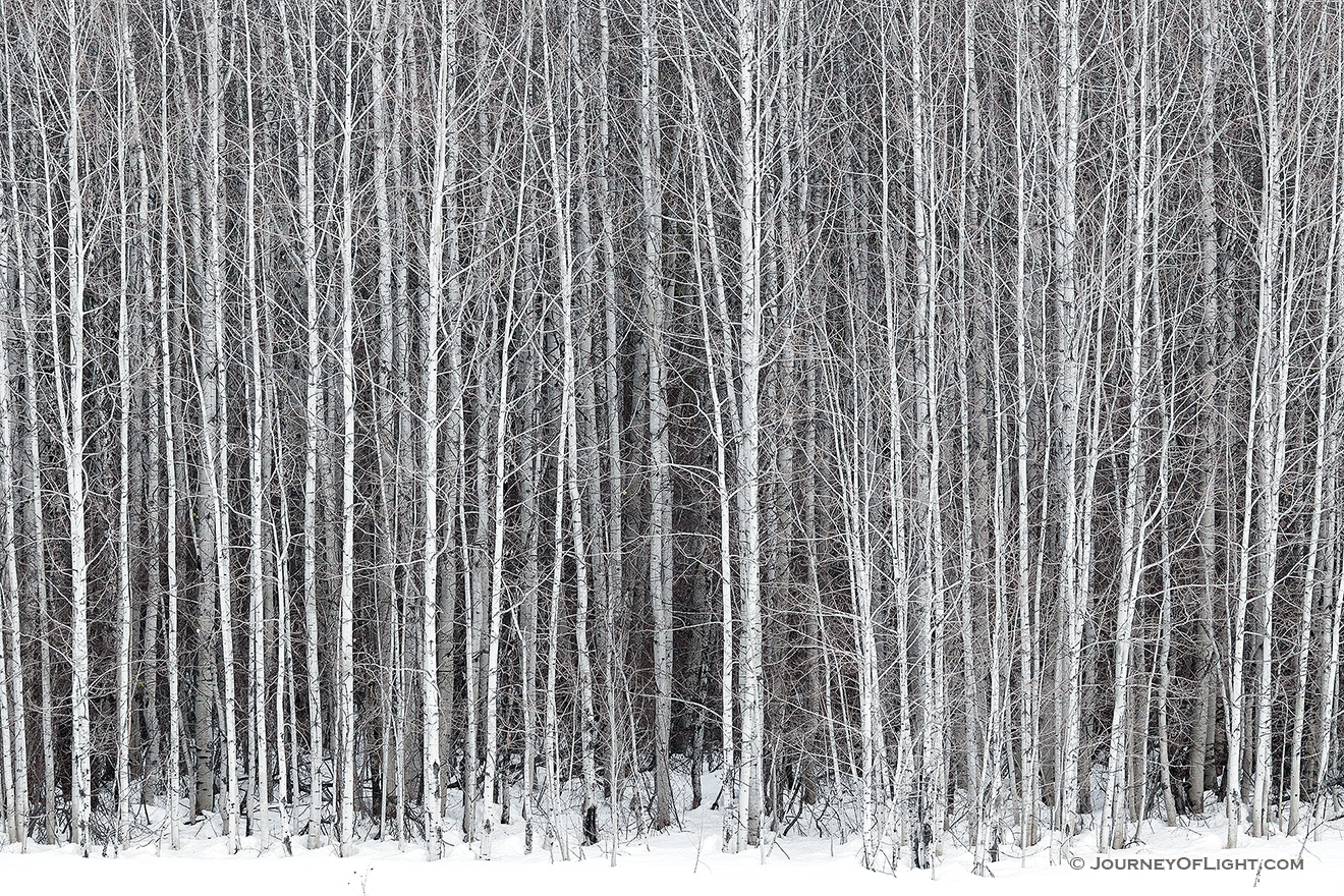 A stand of aspens stands among the snow along the road to Stevens Pass in the Wenatchee National Forest.